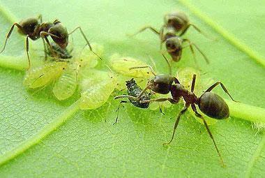 Народные средства борьбы с муравьями