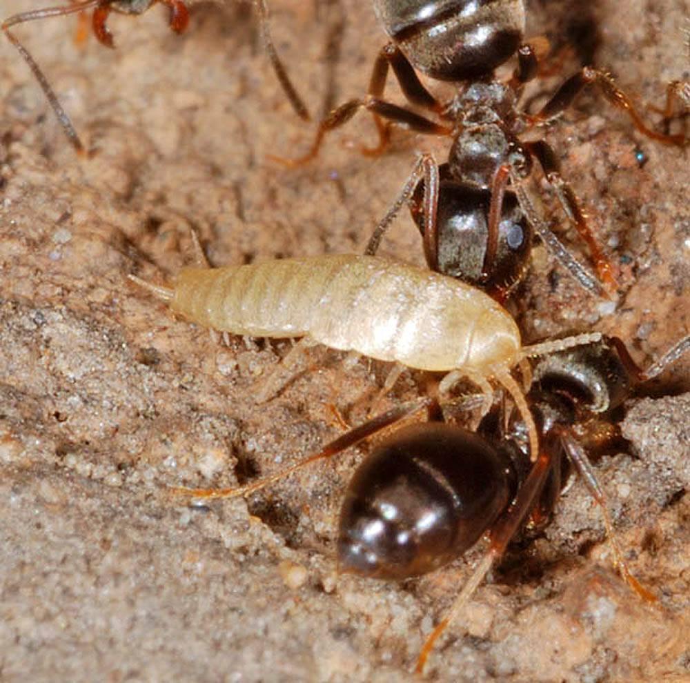 Строение муравья: сколько лап у насекомого? сколько ног у муравья: основные признаки насекомого