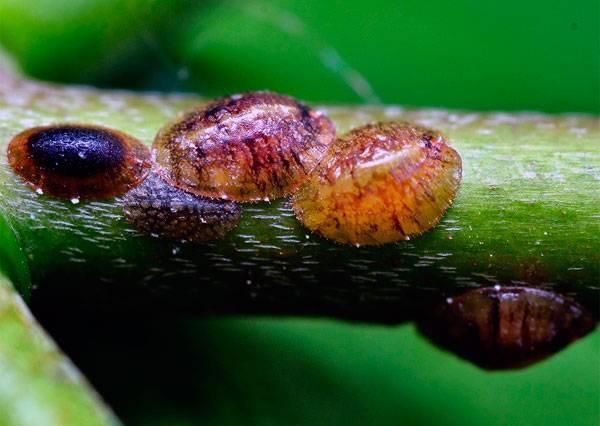 Как бороться с щитовкой на комнатных растениях? применение инсектицидов и народных средств