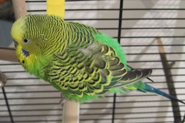Могут ли быть блохи у попугаев