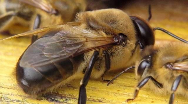 Основные породы и особенности строения медоносной пчелы