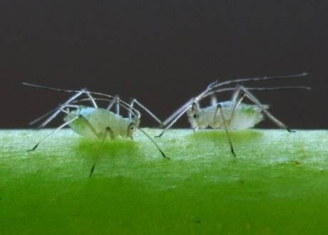 Применение березового дегтя против муравьев и тли