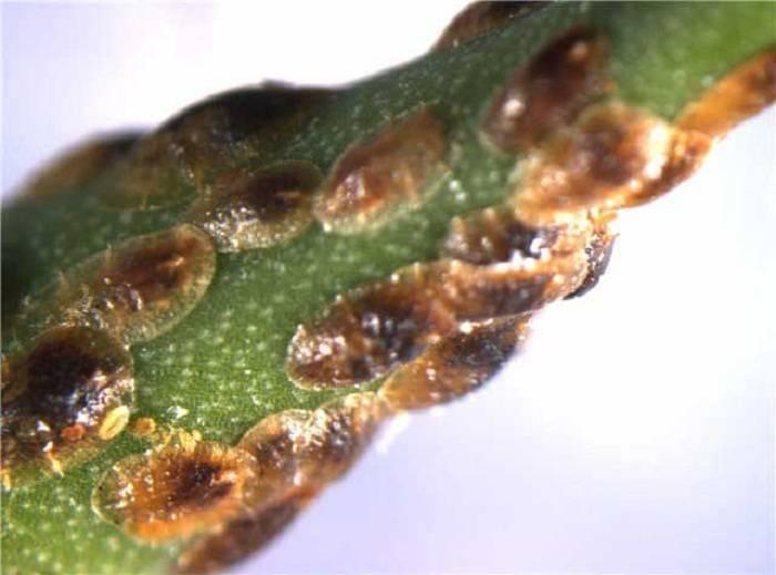 Почему на фикусе бенджамина листья липкие? что делать и как бороться с вредителями?