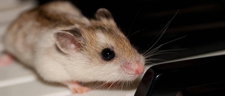 Народные средства от мышей. что боятся мыши