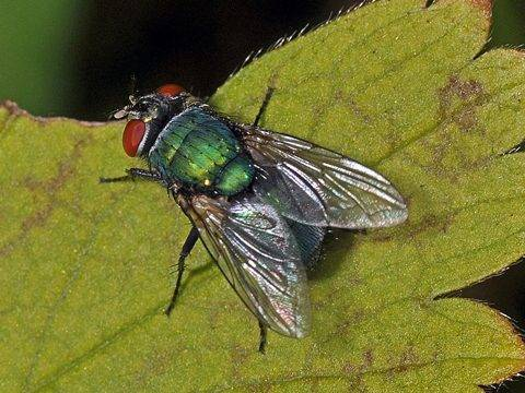 Серая мясная муха – чем так опасны для человека?