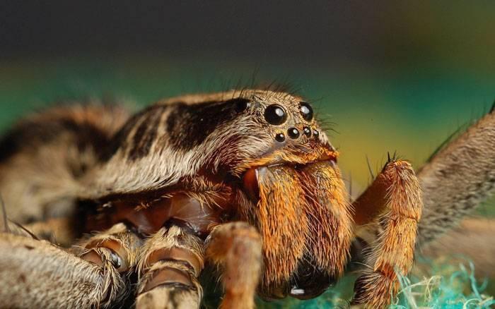 Пауки-волки – терпеливые охотники, которых кормят «ноги. паук-волк фото и описание, ядовитый или нет, где обитает паук который носит на себе паучат