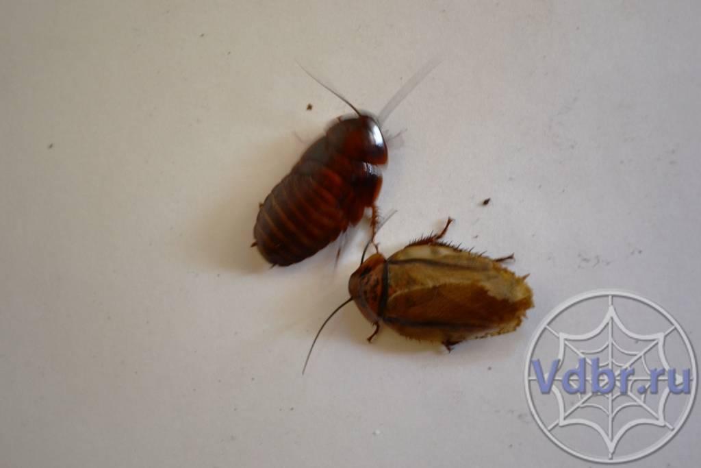 Что делать если убежали туркменские тараканы. туркменский (туркменистанский) таракан (shelfordella tartara) - кормление - каталог статей - antsrussia store. чем опасны для людей