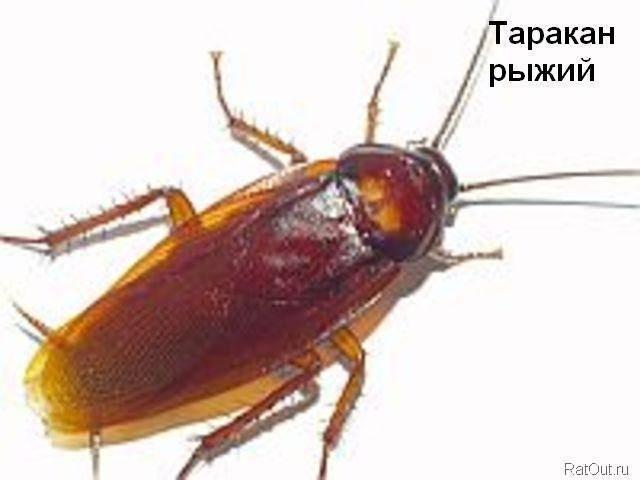 Особенности строения или сколько ног у таракана?