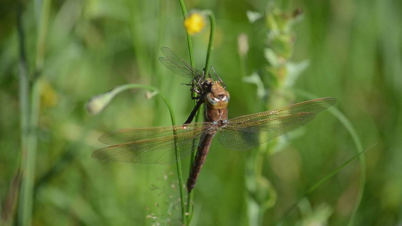 Интересные факты о стрекозах, фото и видео