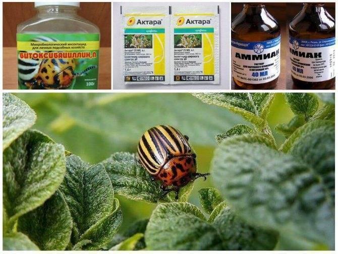 Самое эффективное средство от колорадского жука: лучшие препараты для борьбы