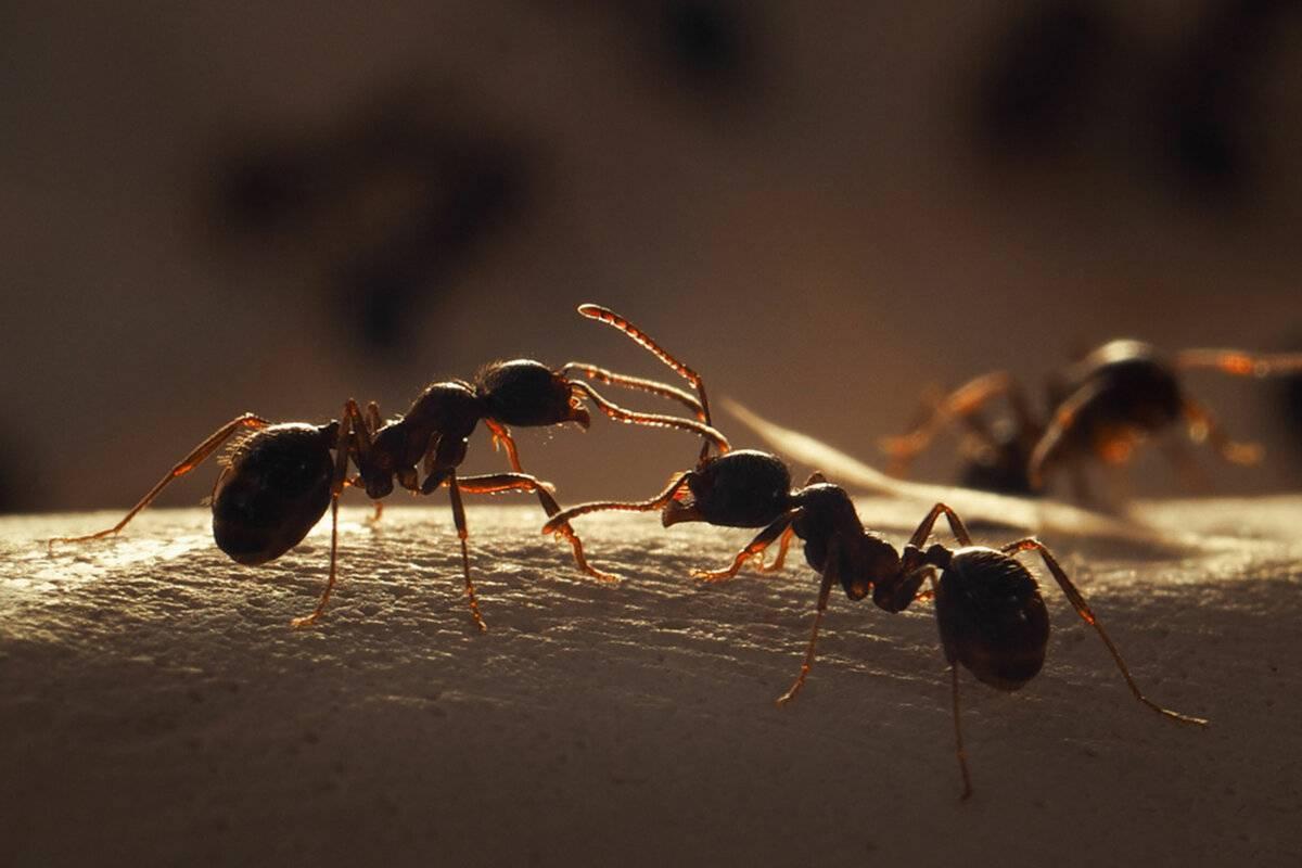 20 самых удивительных фактов о муравьях