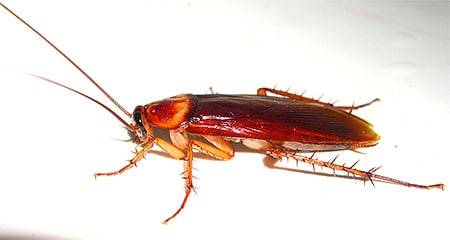 Откуда в квартире появляются белые тараканы