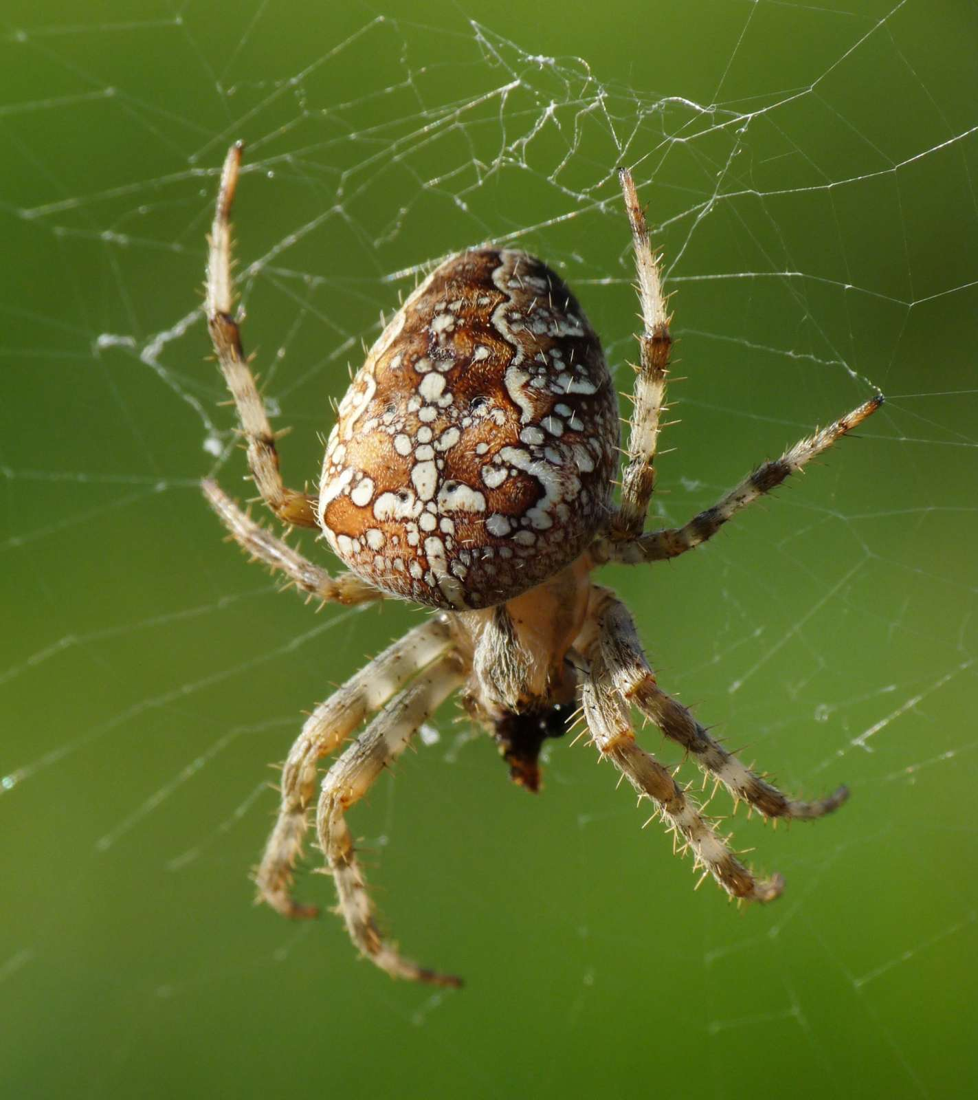 Описание и фото пауков московской области