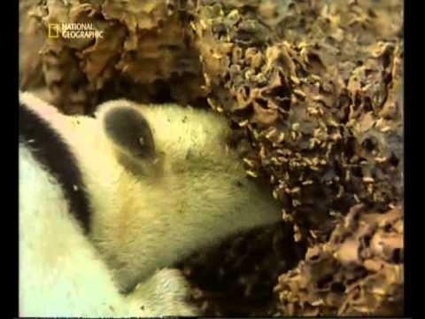 Кто ест муравьев. враги муравьев или кто их ест