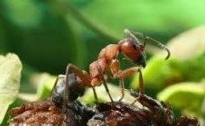 Как избавиться от летучих муравьев в доме?