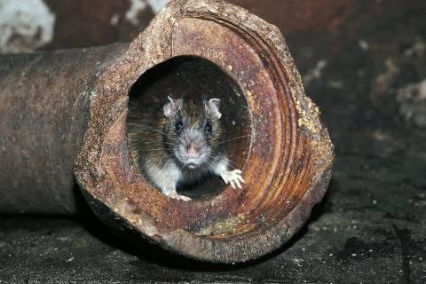 Крыса в канализации, что делать?