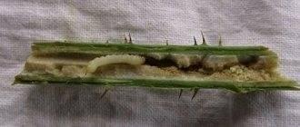 Обработка сосны от вредителей и болезней: лучшие методики от дачников
