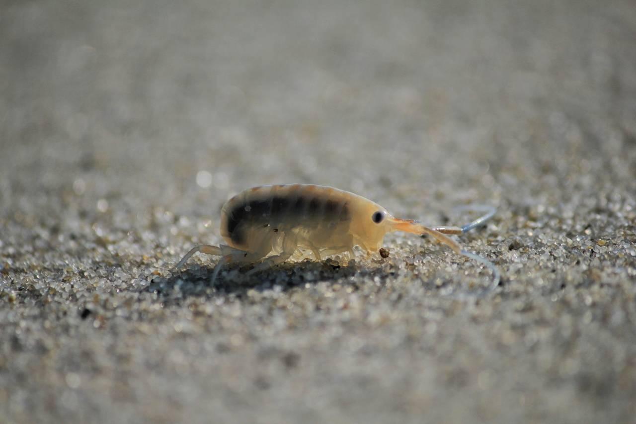 Песчаные блохи и их укусы