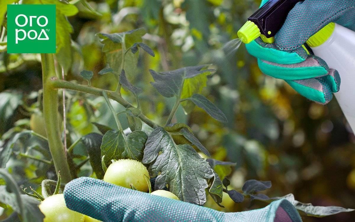 Чем обработать помидоры от тли в открытом грунте и домашних условиях