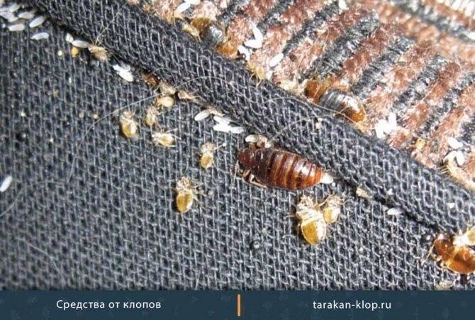 Цифокс от тараканов. «цифокс»: как разводить, в какой пропорции применять от клопов, муравьев, комаров, тараканов и вшей как разводить цифокс от блох