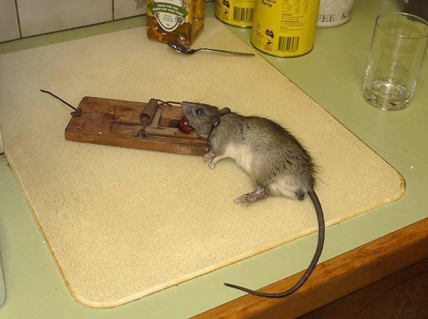 Ловушка для крыс своими руками – самостоятельное и эффективное избавление от грызунов