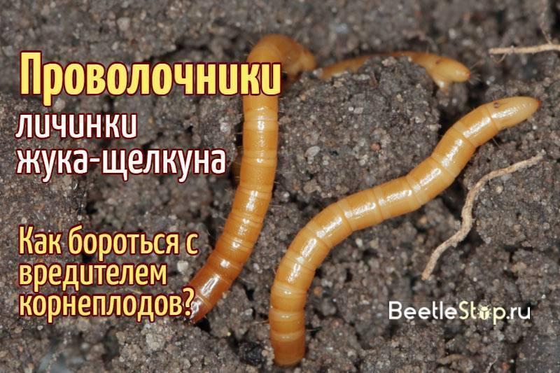 Проволочник в моркови: как избавиться от вредителя