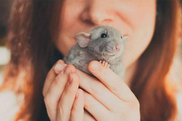 Крысы: всё, что вам нужно знать о диких и домашних грызунах