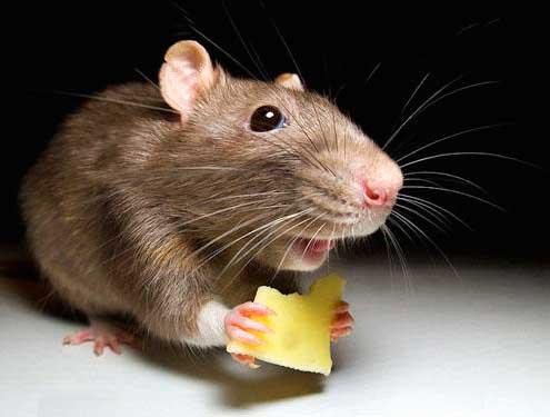 Защита от мышей в деревянном доме