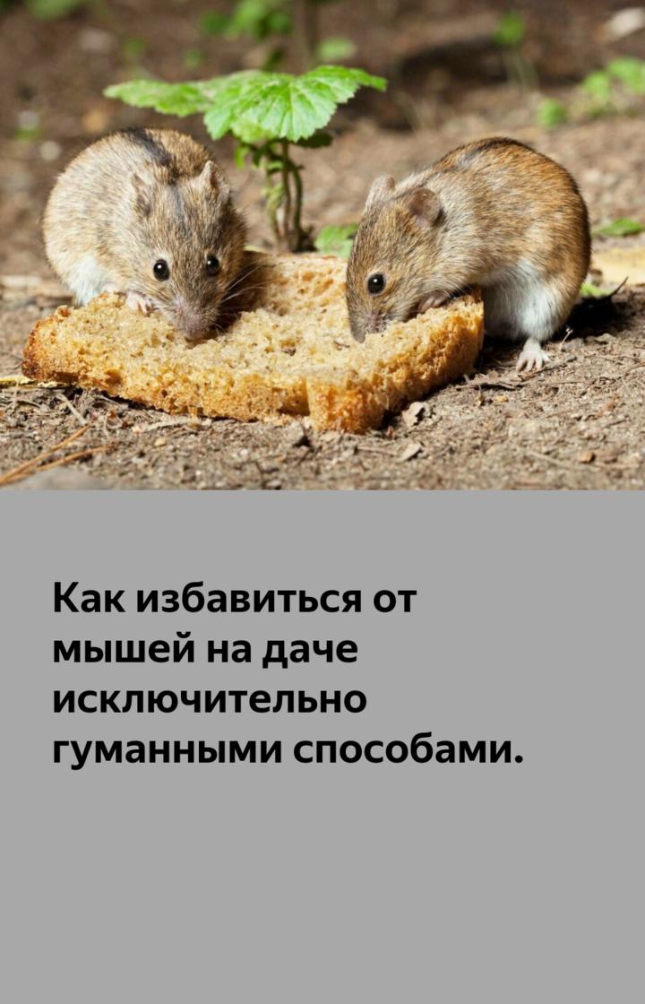 Как избавиться от мышей на огороде навсегда народными средствами?