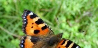 Черно оранжевая гусеница. гусеницы землемеры или пяденица: фото, описание внешнего вида, имеющиеся виды, наносимый вред и меры борьбы. кольчатый шелкопряд: как снизить численность бабочки-вредителя