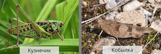 Дыбка степная: образ жизни и размножение хищного кузнечика