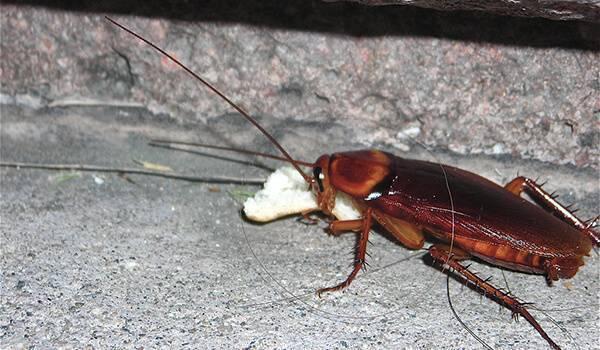 Борьба с яйцами тараканов