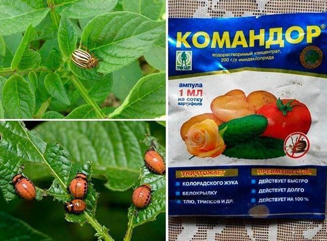 Средство «командор» для картофеля от колорадского жука