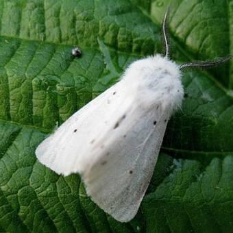 Американская бабочка белая медведица