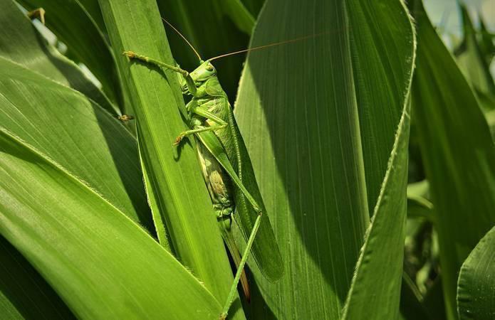 Методы борьбы с саранчой на даче