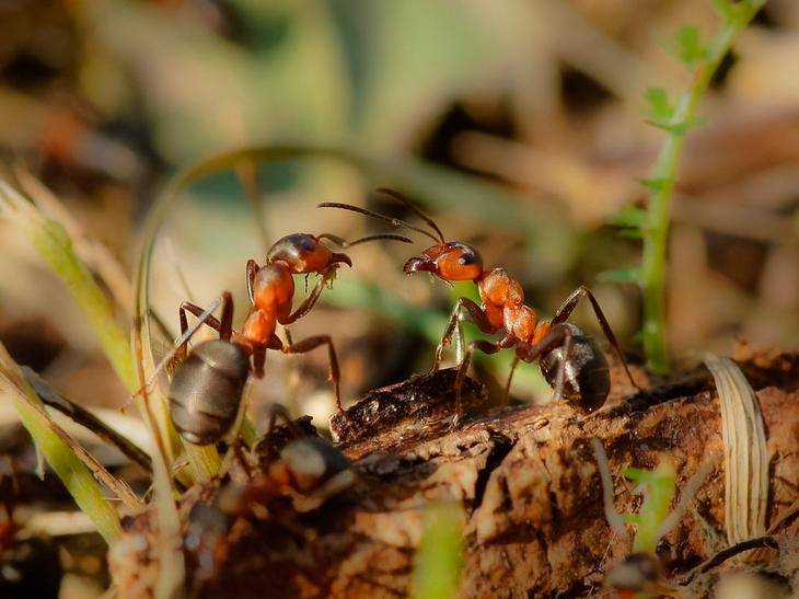 Уксус от муравьев