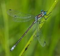 Коромысло голубое. состояние изученности стрекоз и их видовой состав астраханской области голубое коромысло