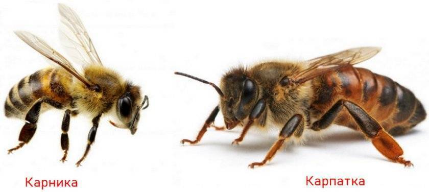 Характеристика и жизнедеятельность земляных пчел