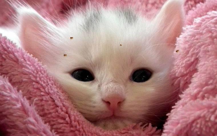 Как избавиться блох у кошки или кота в домашних условиях