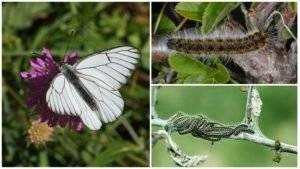 Методы эффективной борьбы с бабочкой-капустницей