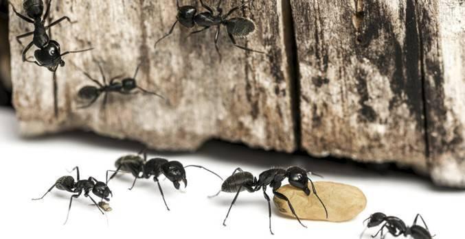 Как вывести черных муравьев из дома или квартиры