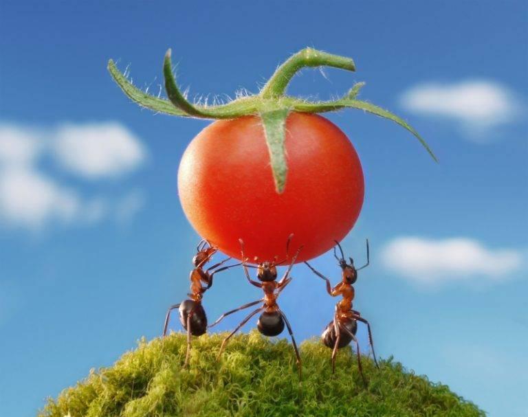 Как вывести муравьев из теплицы с помидорами