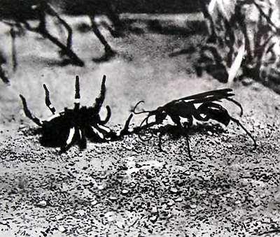 Осы-немки, или бархатные муравьи (лат. mutillidae)