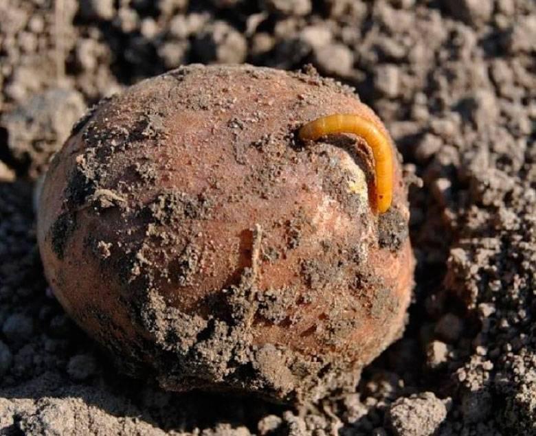 Как избавиться от проволочника в огороде на картофельном участке химическими и народными средствами