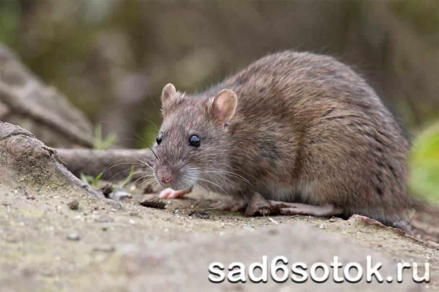 Крыса в унитазе – что делать и как избавиться