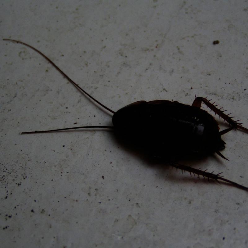 Тараканы в частном доме