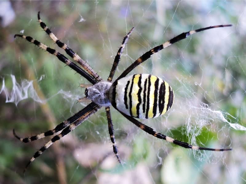 Симпатичный и коварный. паук с желтыми полосками. опасное соседство — паук с крестом на спине паук с желтым тельцем