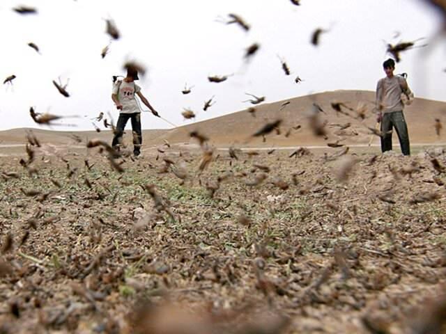Для борьбы с саранчой используют. как грамотно вести борьбу с саранчой и какие средства самые эффективные? пустынная, крайне прожорливая