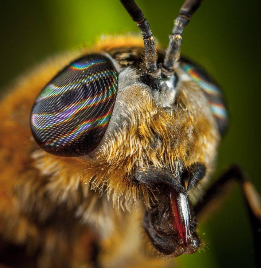 Овод: как отпугивать насекомое и что делать при укусе