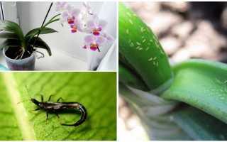 Щитовка на орхидее: раньше обнаружить – проще избавиться